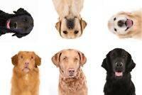 Лабрадор ретривер - описание породы собак, разновидности и стандарт питомца