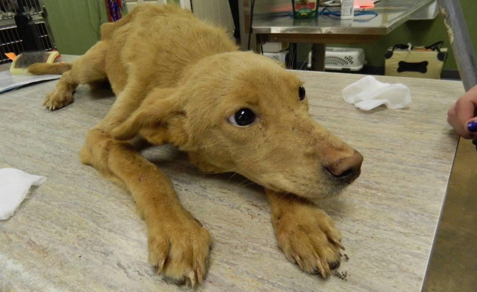 Бордетеллиоз или вольерный кашель у собак