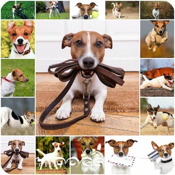 Джек-рассел-терьер: дрессировка щенка