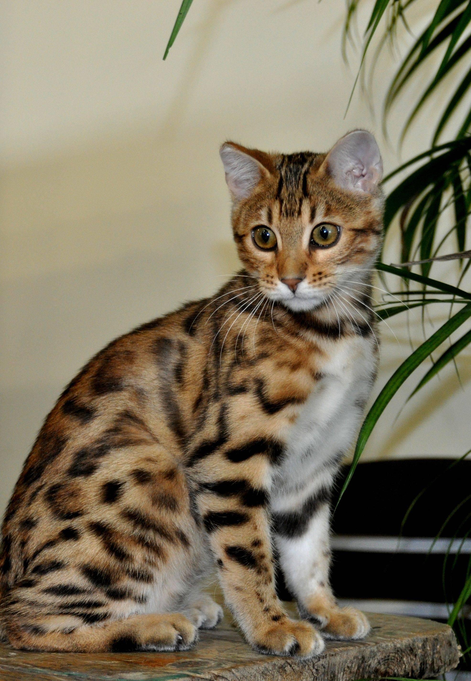 Китайские кошки: разновидности и нюансы содержания
