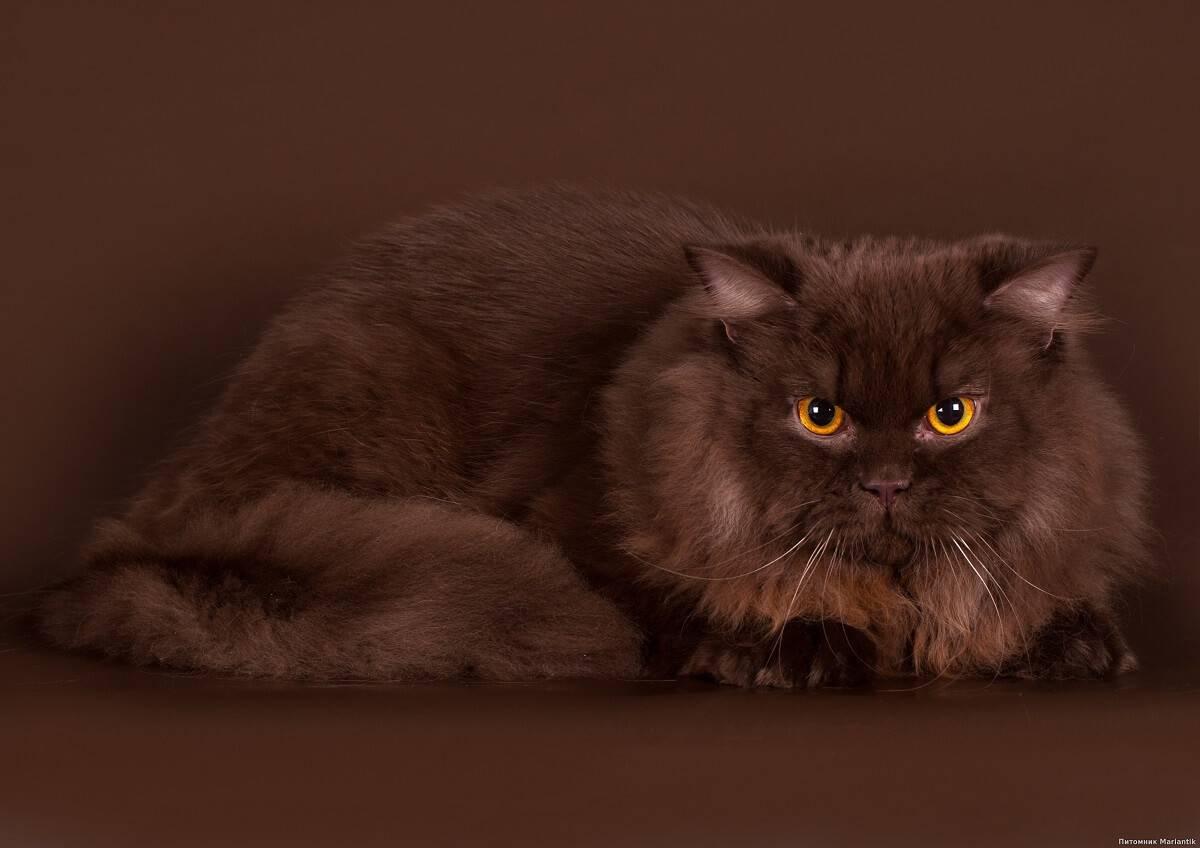 Йоркская шоколадная кошка: фото породы, уход, цена