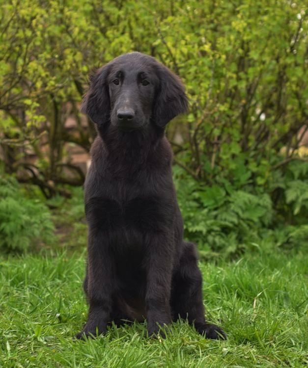 Описание породы собак прямошерстный ретривер: характер, уход, предназначение. прямошерстный ретривер (черный гладкошерстный флэт)
