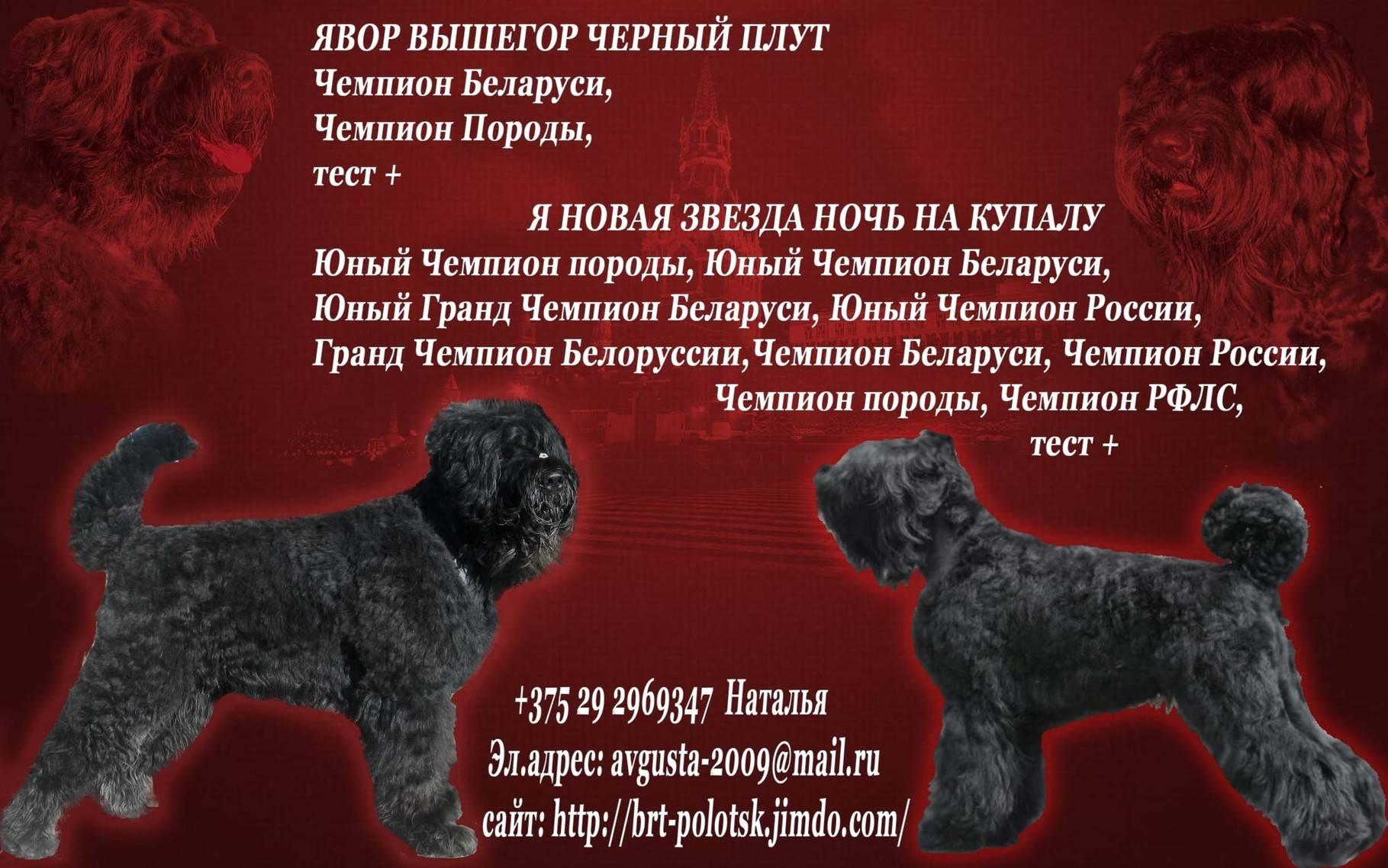 Русский чёрный терьер: фото, купить, видео, цена, содержание дома