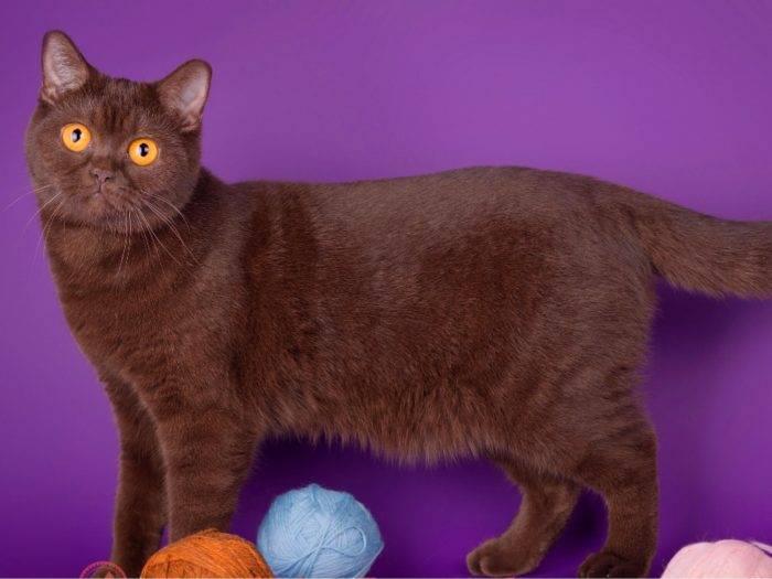 Йоркская шоколадная кошка: ненавязчивый, но очень верный друг