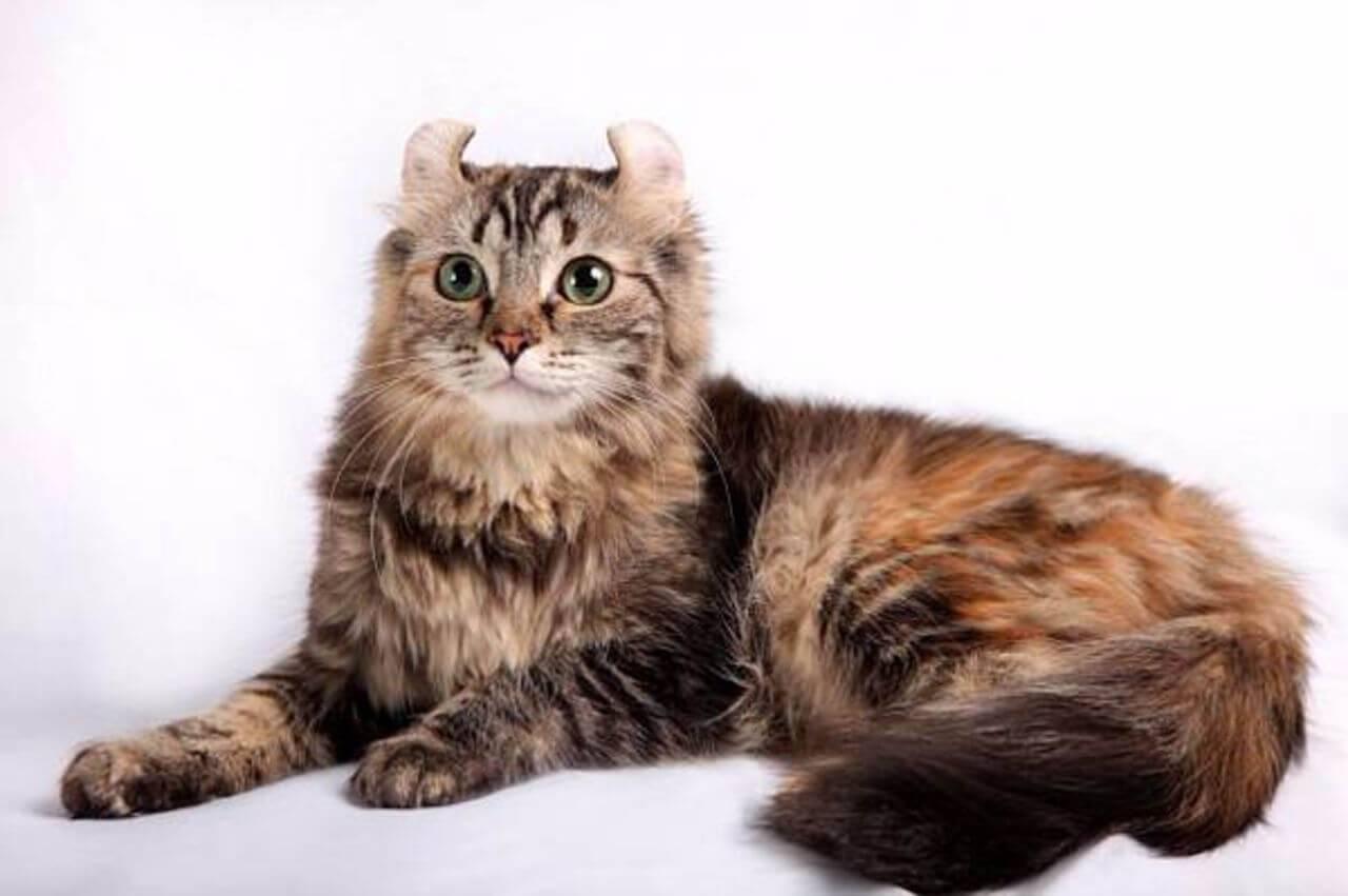 Американский керл кошка. описание, уход и цена кошки американский керл