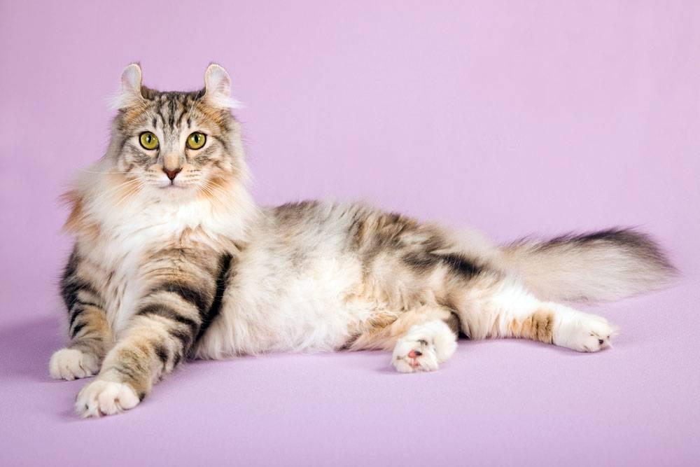 Самые дорогие породы кошек: топ-17