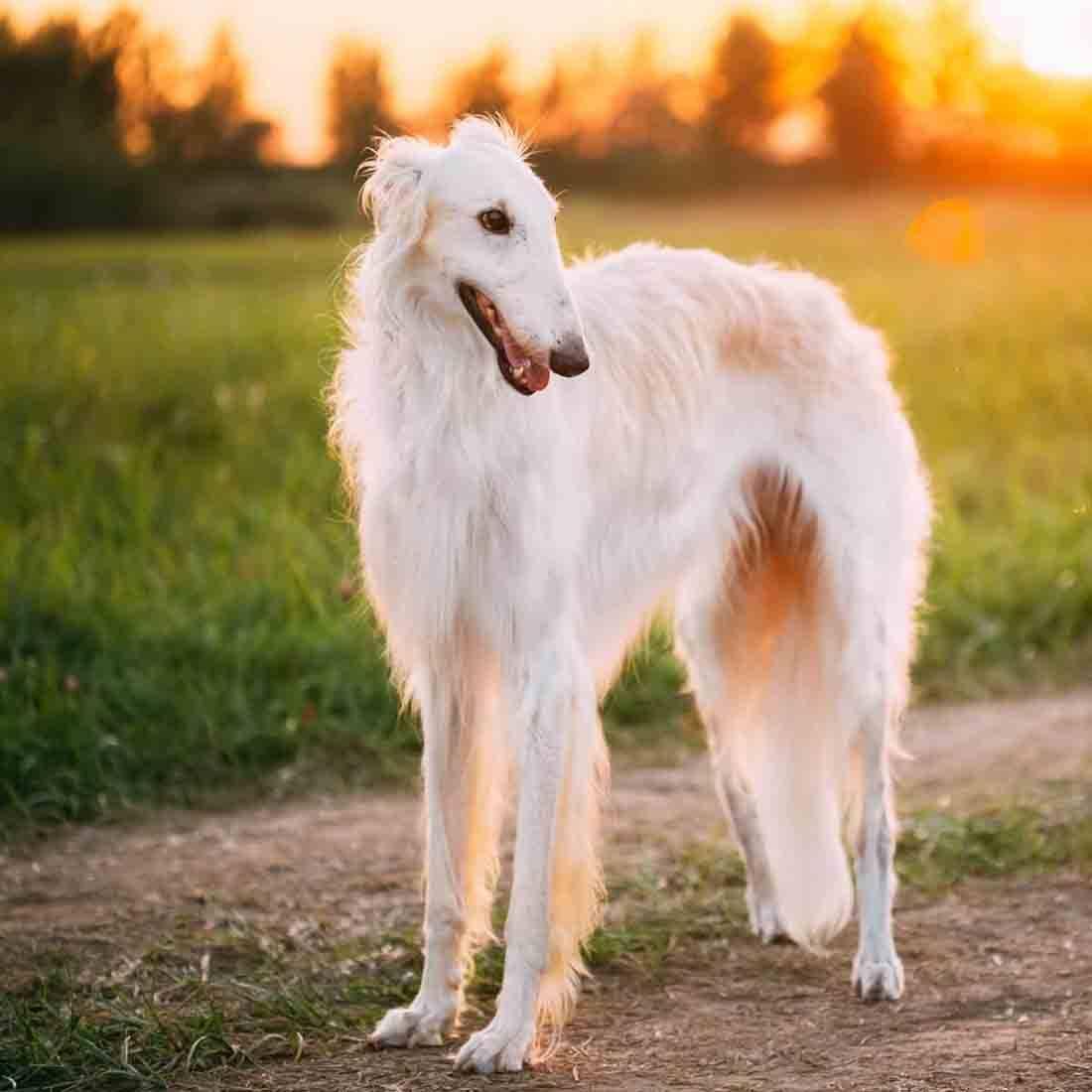 Порода собак русская борзая: фото, видео, описание породы и характер