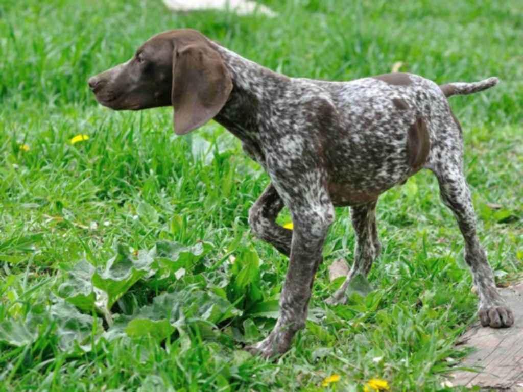 Охотничьи собаки: виды и породы