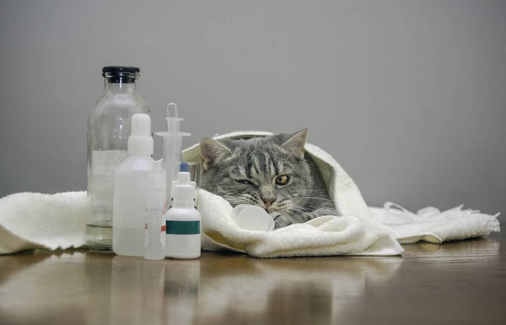 Панкреатит у кошек: симптомы и лечение в домашних условиях