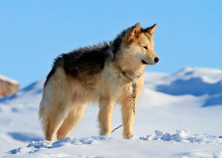 Гренландская собака: описание породы - моя собака