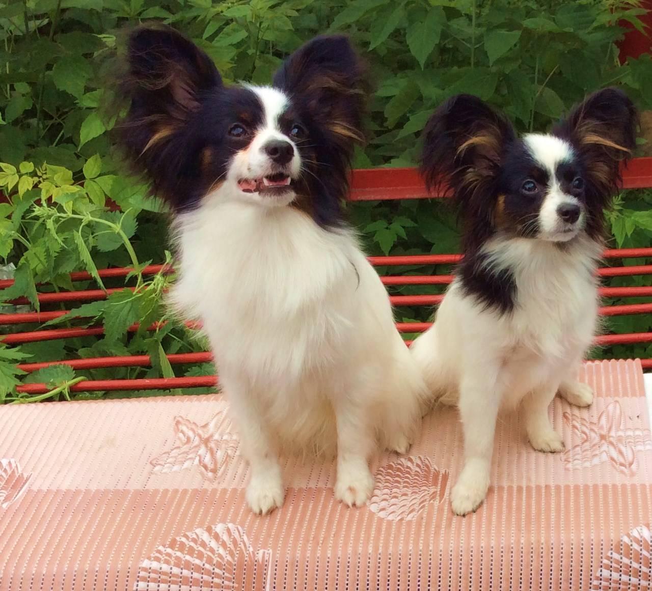 Собака-бабочка папильон: обзор характера породы