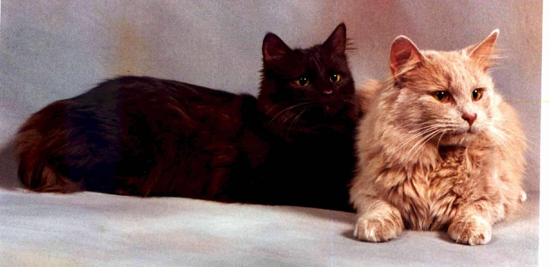 Тиффани - порода кошек - информация и особенностях   хиллс
