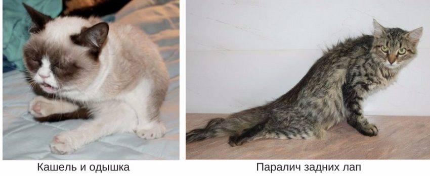 Кашель у кошек: виды, причины, лечение. сердечный кашель у кошек.