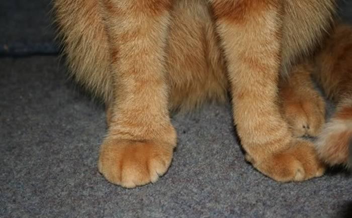 Почему кот не наступает на задние лапы?