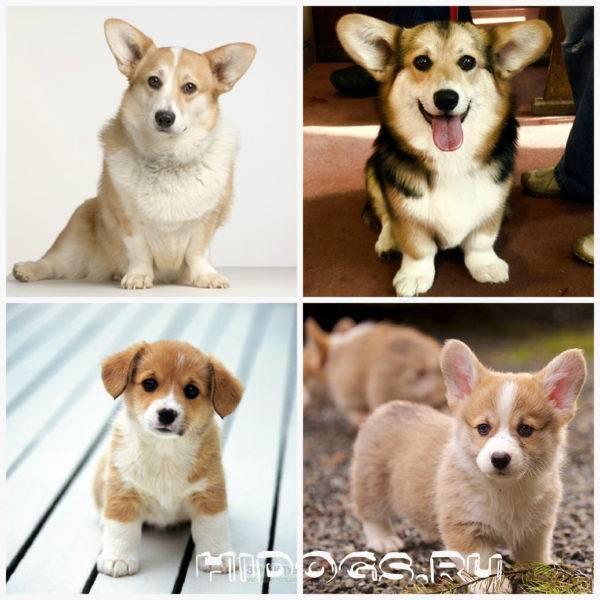 Вельш-корги пемброк и кардиган: фото, описание характера собак