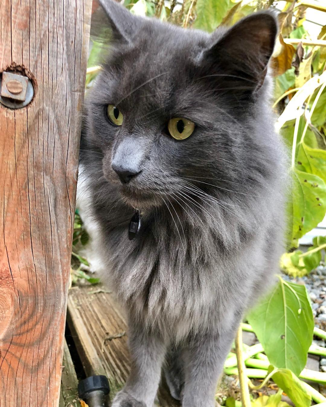 Нибелунг (кошки и коты): описание породы, характер, отзывы фото