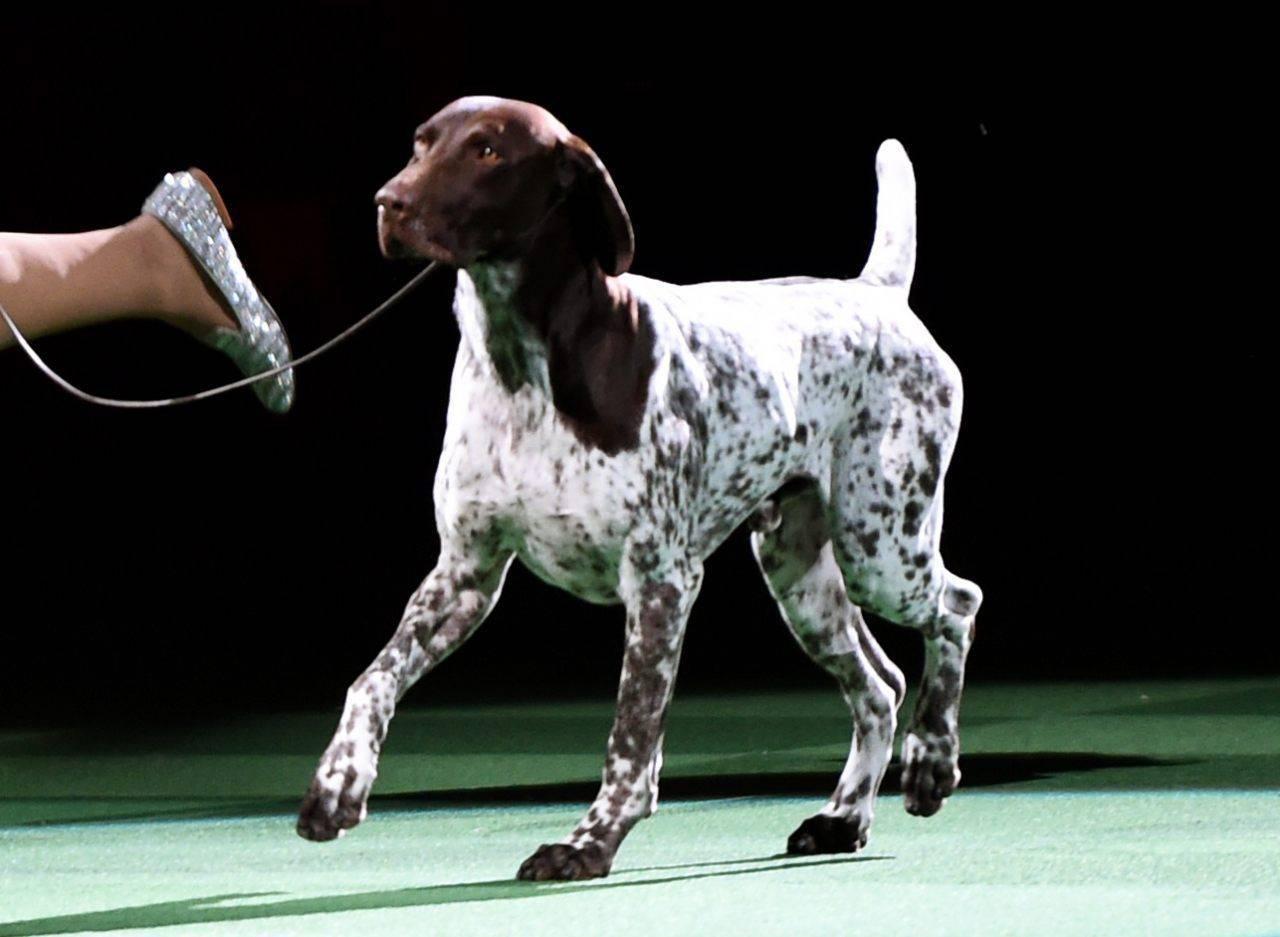 Английский пойнтер - порода собак - информация и особенностях | хиллс