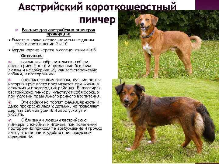 Немецкий пинчер: фотографии собаки, описание и уход, стоимость