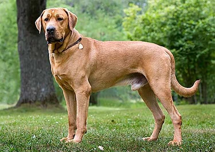 Эрдельтерьер собака. описание, особенности, уход и цена эрдельтерьера | sobakagav.ru