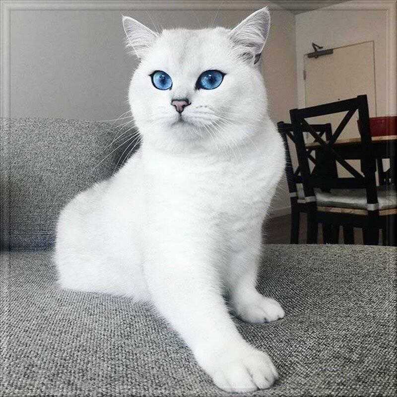 Кошки с голубыми глазами: породы | белые, черные, фото