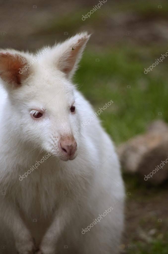 Доберман-альбинос