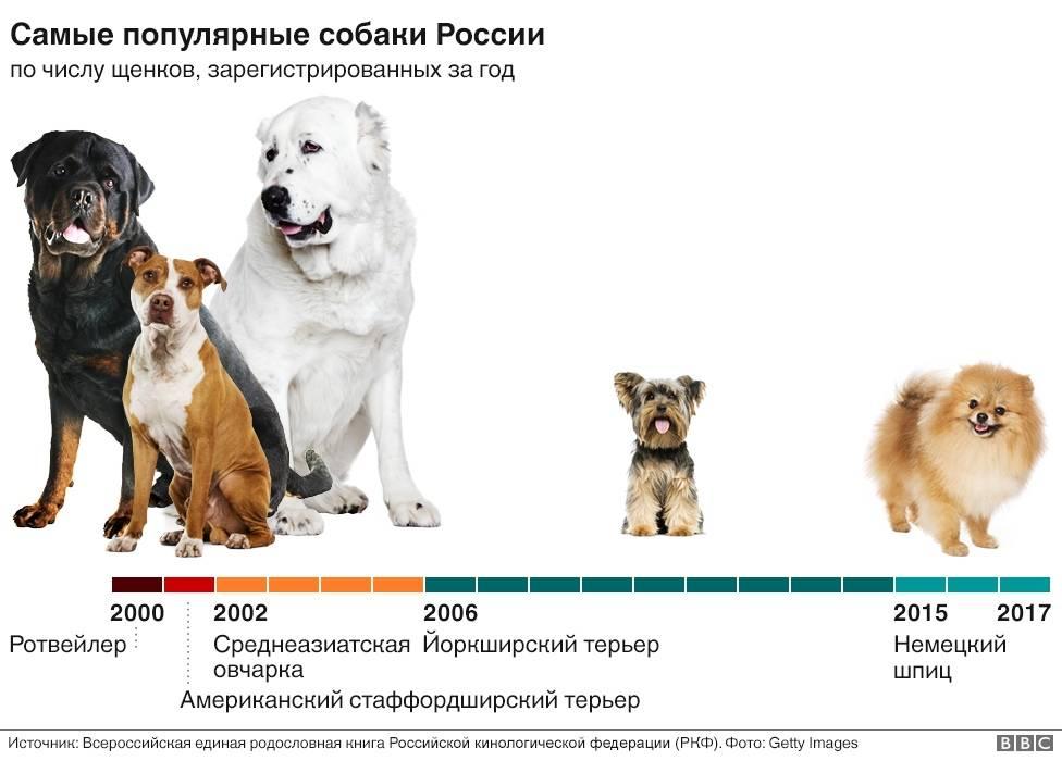 Собака туди — самая маленькая в мире: описание породы, цена и особенности маленьких собачек