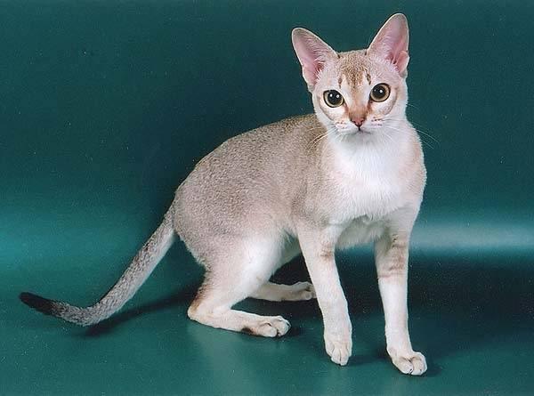 Сингапурская кошка: описание, характер, фото, цена, содержание