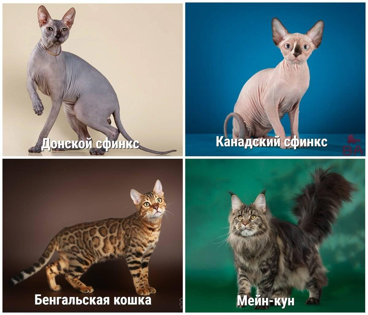 12 самых дорогих пород кошек - рейтинг 2020