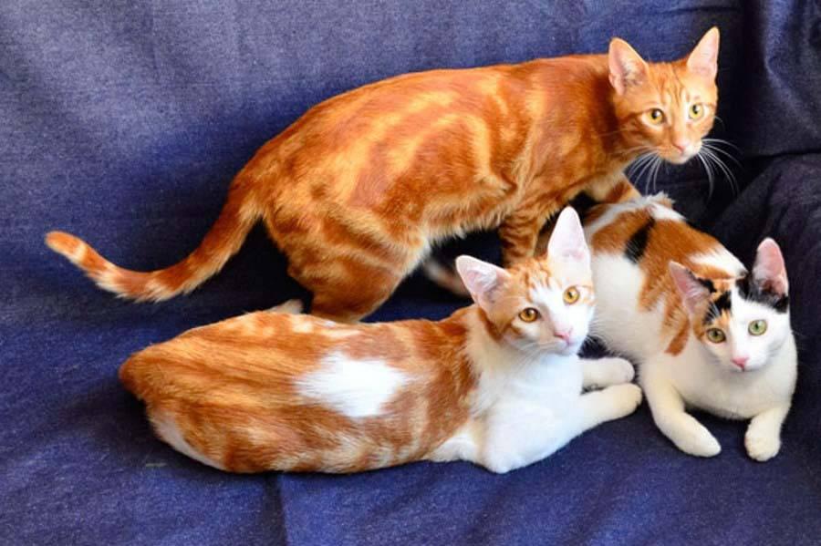 Анатолийская кошка — описание породы кошек