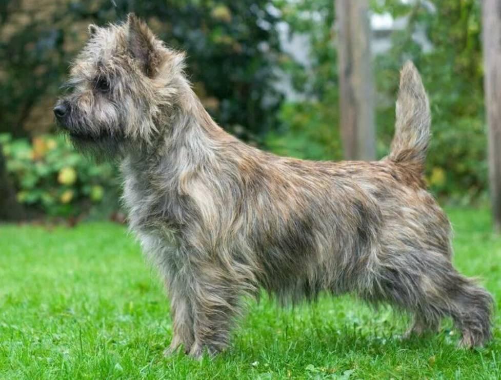 Керн терьер (кэрнтерьер): описание, фото, характер, особенности и уход за породой собак