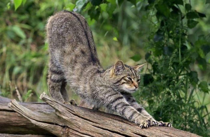 Пятнистые кошки: домашние мини-леопарды