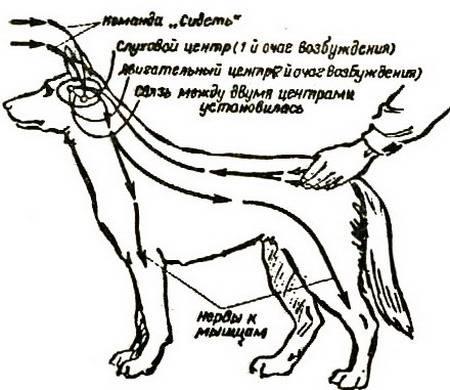 Кахексия (истощение) у собак