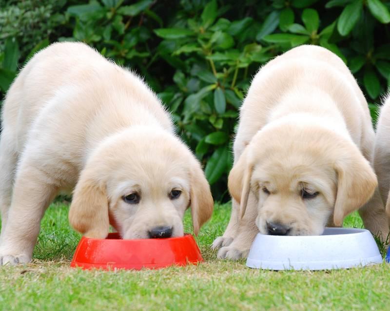 Питание щенка сухим кормом: основные правила для владельца