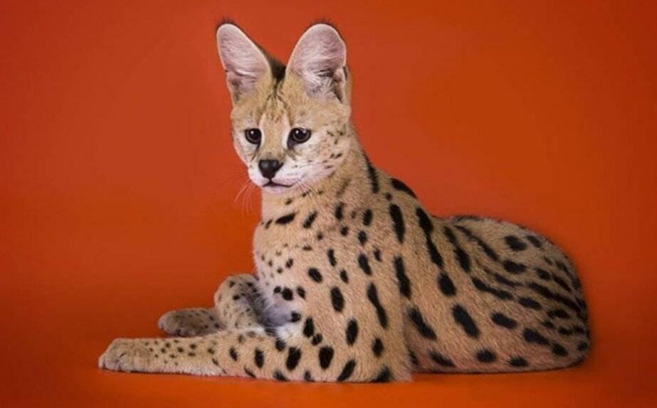 Самые дорогие породы кошек в мире: цены и фото