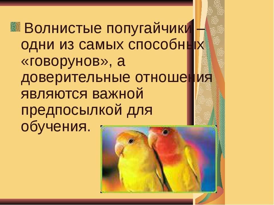 Можно ли научить волнистого попугая говорить?