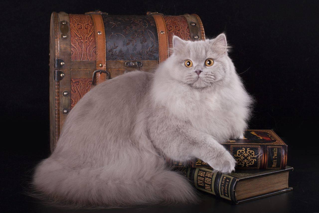Британская длинношерстная кошка, пушистый кот-британец