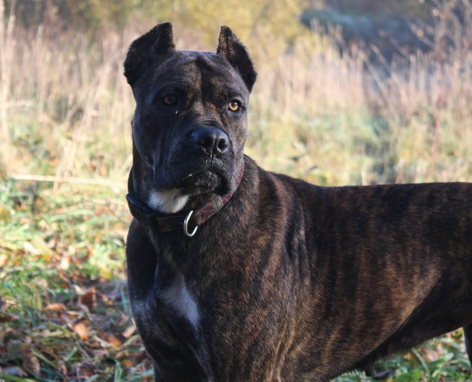 Аланский дог: порода собак алано, особенности