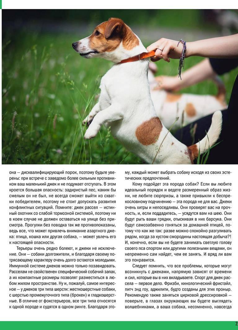 Как выглядит и как дрессировать породу собак джек-рассел-терьер?