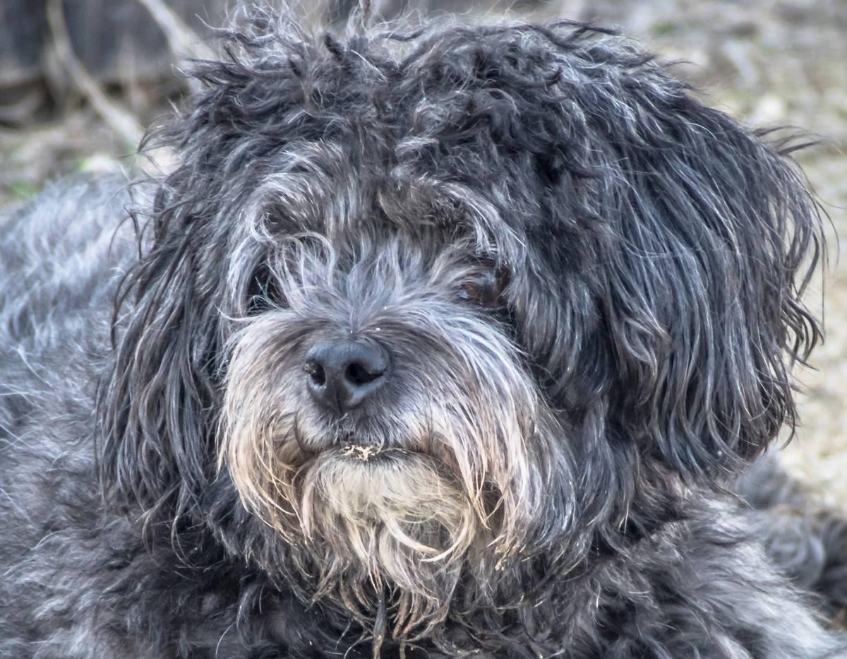 Бернский зенненхунд собака. описание, особенности, уход и цена породы