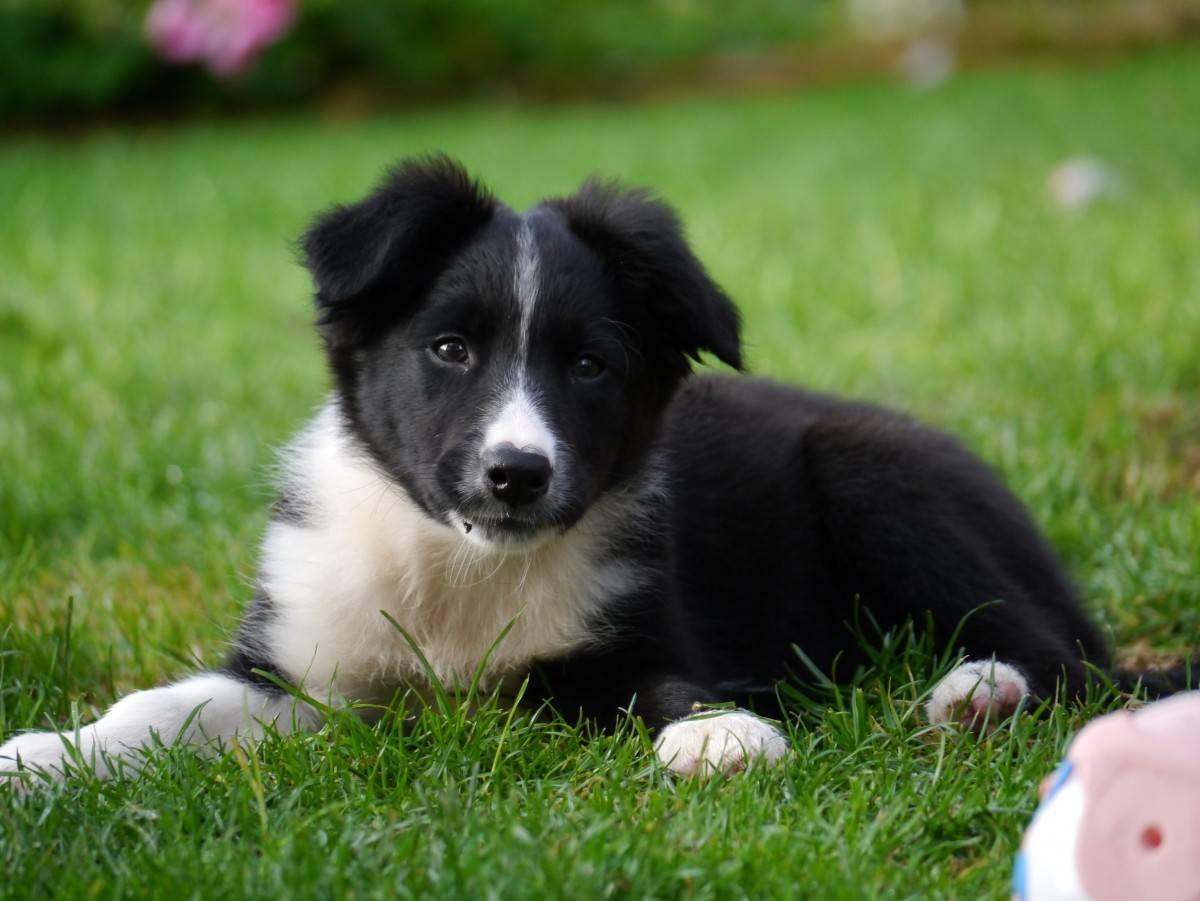 Бордер колли — фото, описание породы собак, особенности, характер, отзывы владельцев, цена щенка