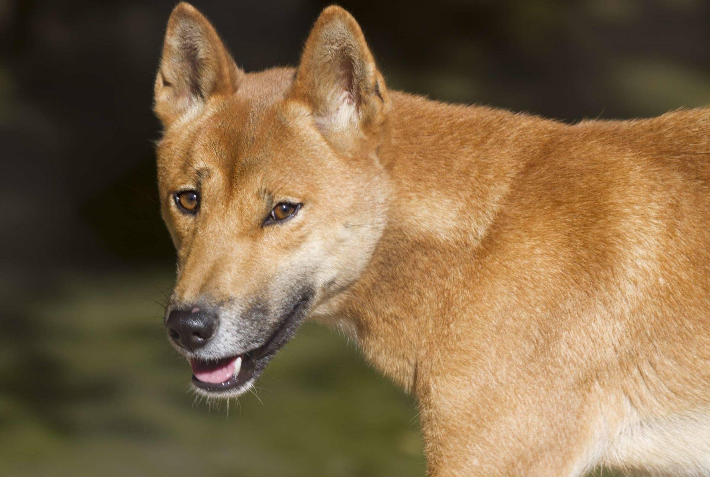Новогвинейская поющая собака