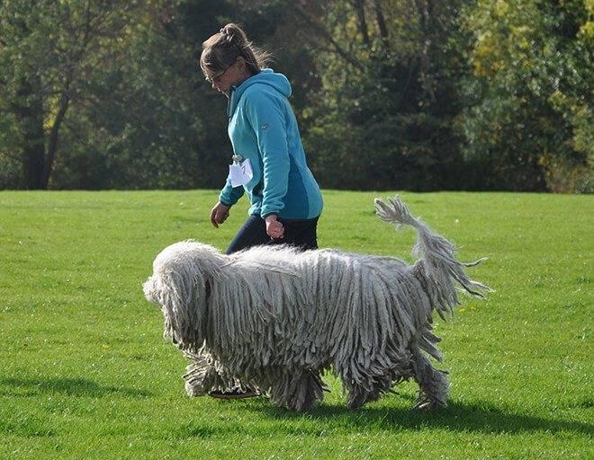 Венгерская овчарка комондор - фото и описание породы