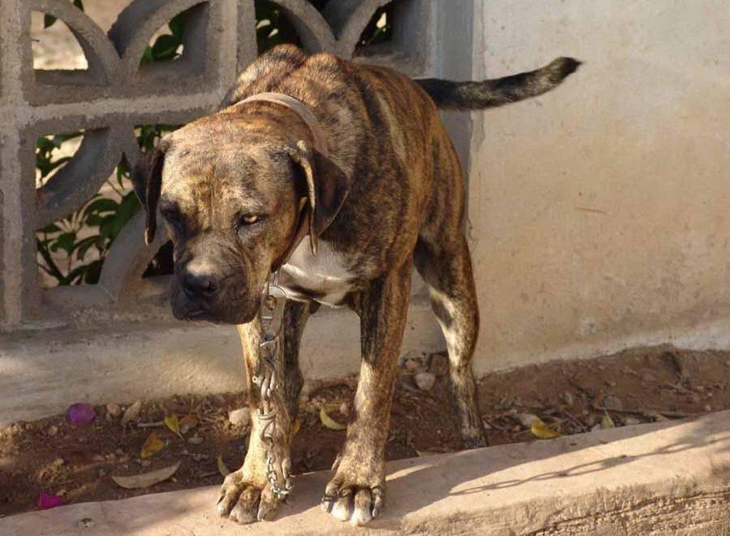 Испанский алано - описание породы и характер собаки
