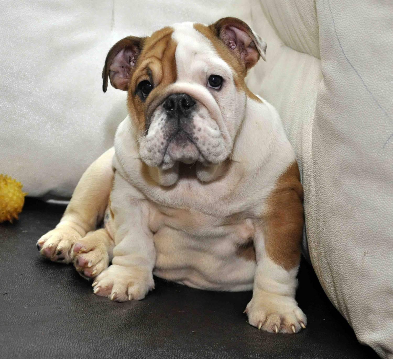Английский бульдог: описание породы, характер и воспитание, содержание и отзывы о собаке