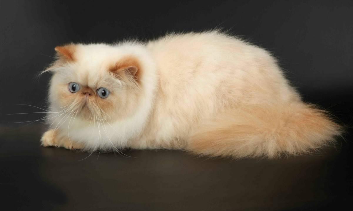 Гималайские кошки: фото, описание породы, характер, особенности содержания и ухода