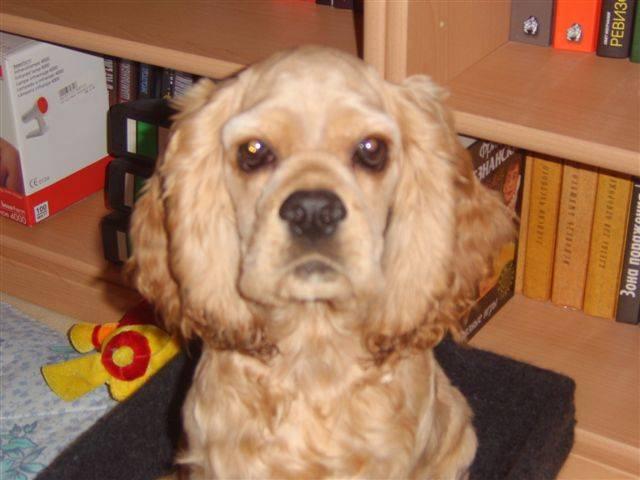 Английский кокер спаниель собака. описание, уход и цена английского кокер спаниеля | sobakagav.ru
