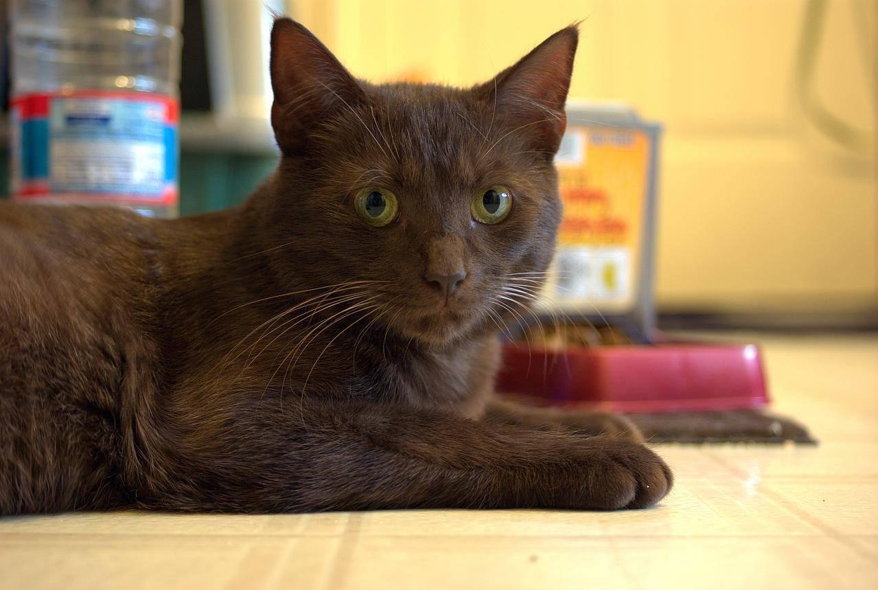 Йоркская шоколадная кошка (chocolate york cat)