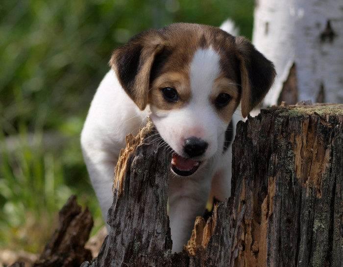 Датско шведская фермерская собака