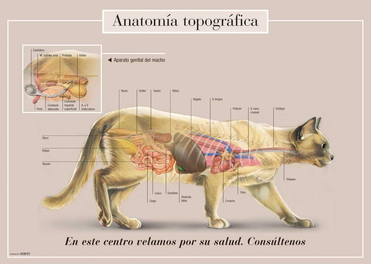 Анатомия кошки: строение скелета, внутренние органы, особенности слуха