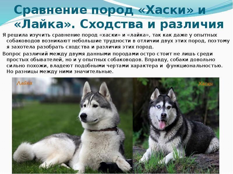Чем отличаются хаски от лайки: одна и та же ли это порода, в чем разница между собаками, кто больше и лучше, как различить их, а также много фото сравнений